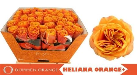 R Gr Heliana Orange+
